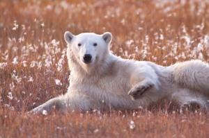 Polar Roller in the Cotton Grass