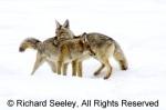 Coyote Courtship
