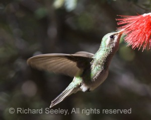 Broadbilled Hummingbird Refueling in Flight