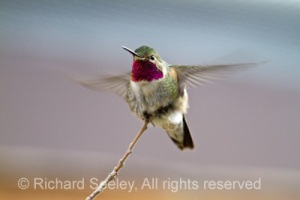 Broad-billed Hummingbird Balancing