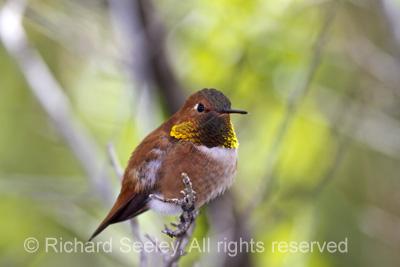 Rufous Resting Hummingbird