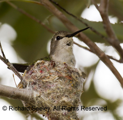 Waiting for Mothers Day - Hummingbird