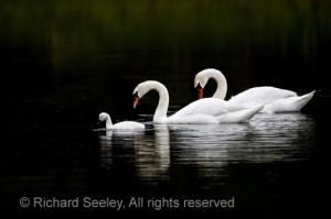 Swan Serenity