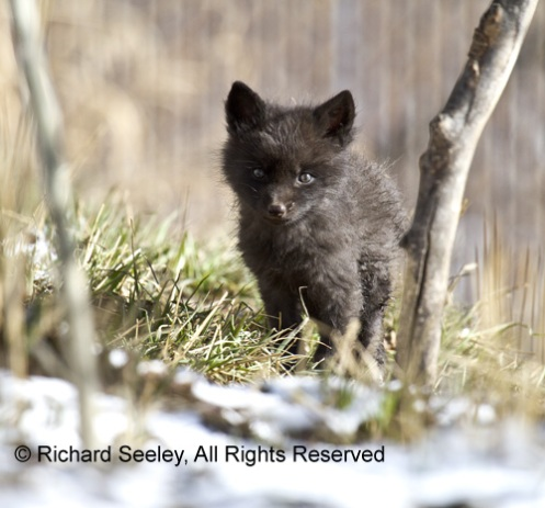 Black Fox Kit