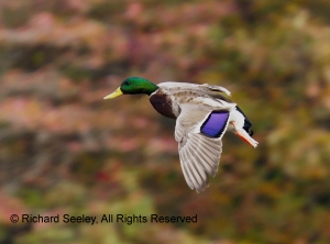 Mallard in the Moment I