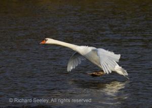 Swan Touchdown