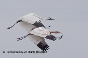 Whoopers on Wings