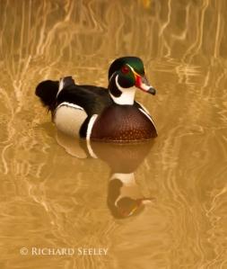 Wood Duck Gliding Through Gold