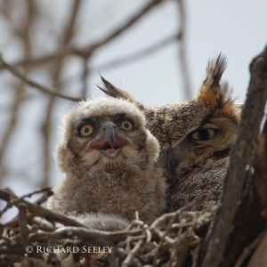 Great Horned Owlet and Parent