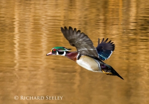 Wood Duck Winging Away