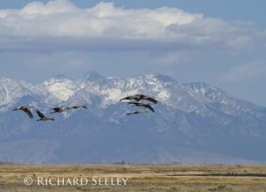 Sandhill Cranes Arriving