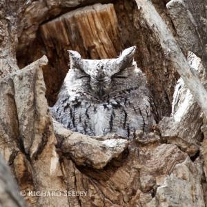 Screech Owl Dozing