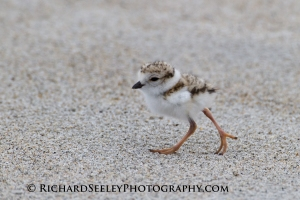 One Week Old Plover Chick