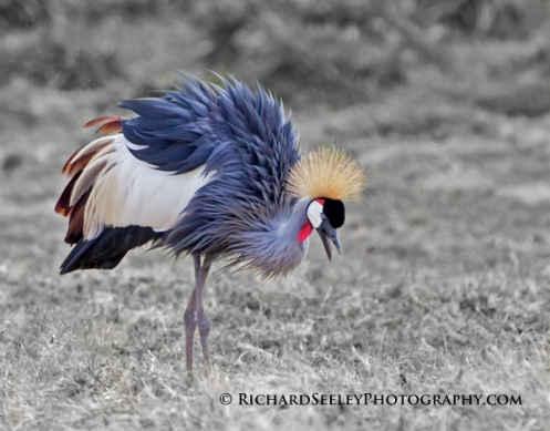 Ruffled Feathers - Crown Crane