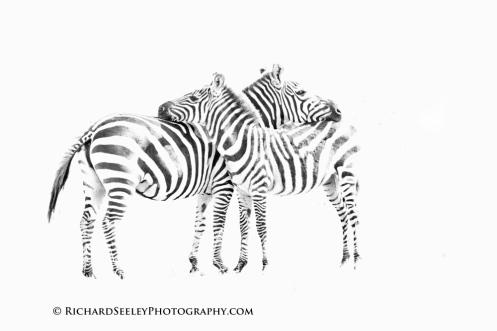 Zebra Welcome