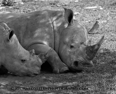 Rhinos Resting