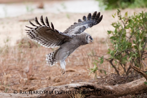 Eagle Owlet Practicing