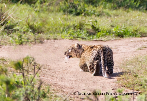 Leopard on the Hunt