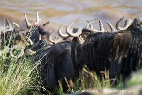 Wildebeest Plunge