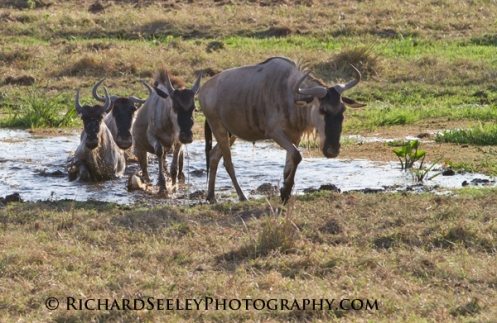 Wildebeests Emerging