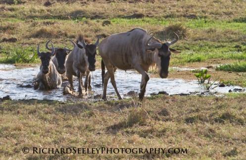 Wildebeests Emerging
