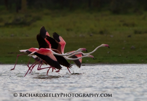 Galoping Flamingos