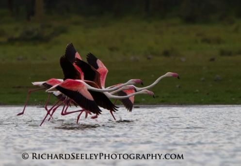 Galoping Flamingos