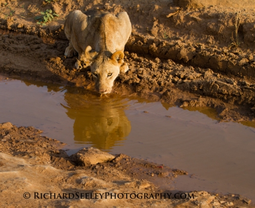 Lapping Lioness