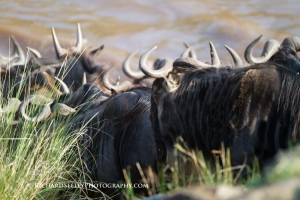Plunging Into the Mara River