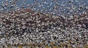 Snow Geese Blizzard