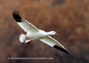 Snow Goose in a Flurry