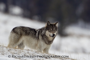 Gray Agate Yearling Wolf  - Scanning for Threats