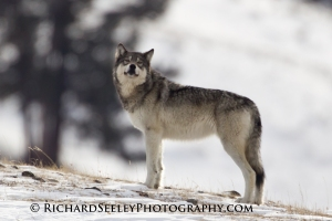 Gray Agate Yearling Wolf Sniffing the Wind