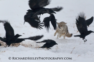 Claiming the Carcass