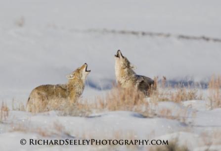 Coyote Chorus
