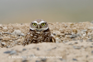 Burrowing Owl Burrow Borrowed