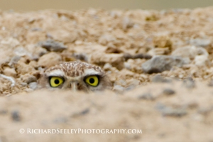 Burrowing Owl Barely Burrowed