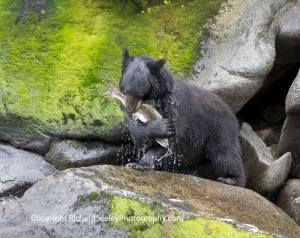 Black Bear - Love Eating a Fish