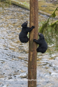 Carefree Climbing Bears