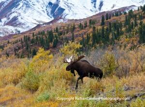 Moose Emerging