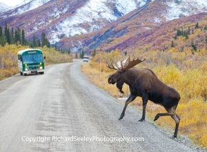 Tourist Buses Make Way for Bull Moose