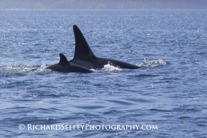 Twin Fins - Mother and Calf Orca