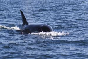 Orca Torpedo