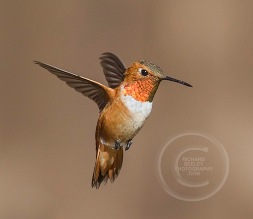 Rufous Hover