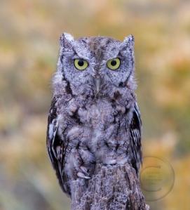 Screech Owl Posing