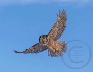 Hawk Owl Hover