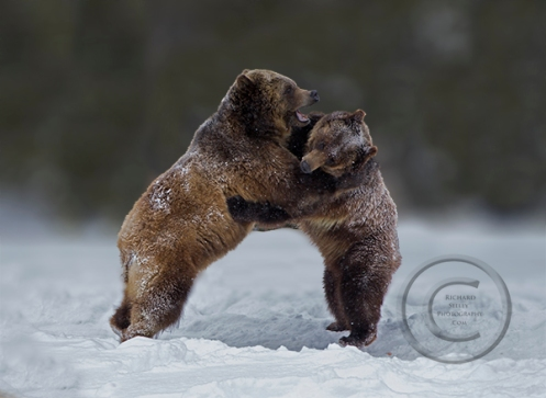 Grizzly Dance