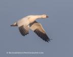 Snow Goose Solo