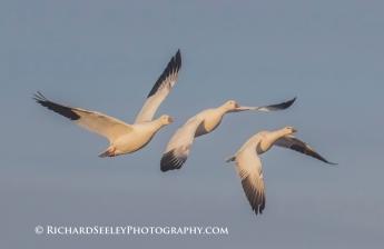 Snow Geese Triple