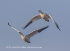 Snow Geese Double